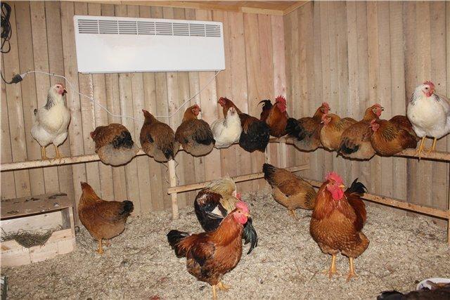 Содержание куриц несушек в домашних условиях