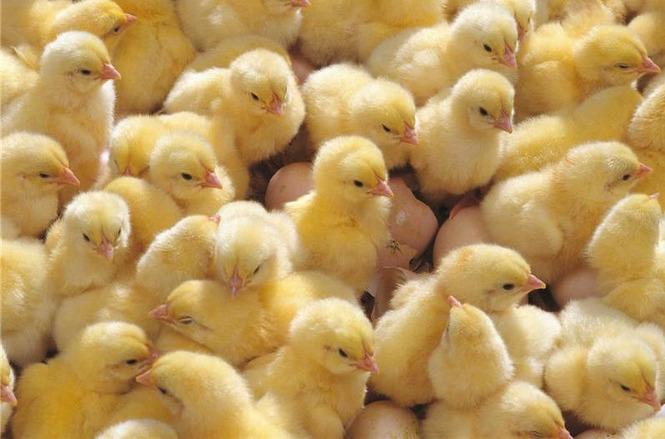 Как вывести бройлерных цыплят самому